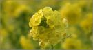 菜の花まつり・でっかい菜の花畑