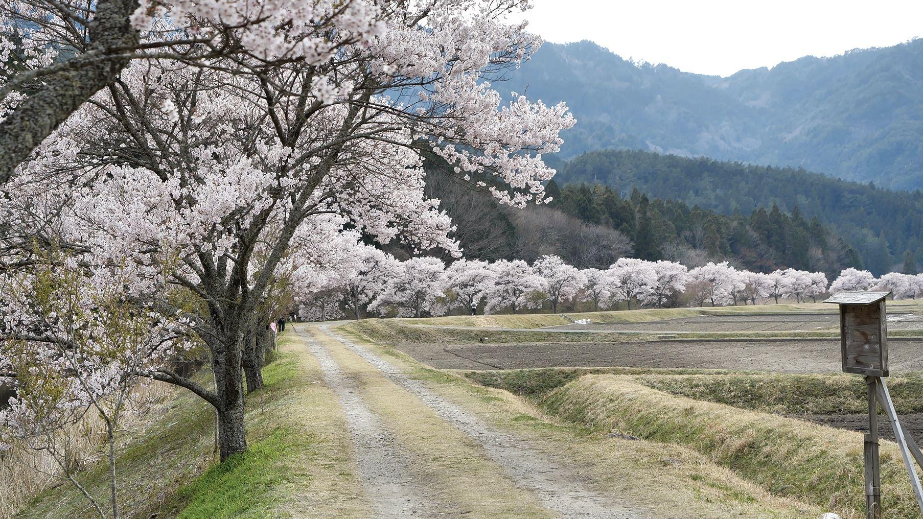 設楽町名倉川コヒガン桜並木道2